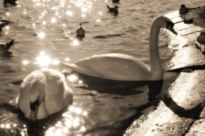 Swans on the lake – Hyde Park London